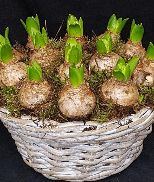 Hyacinten in rotanmand medium
