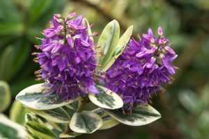 herfst bloem Hebe Addenda 1