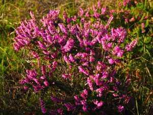 herfst bloem Heide 1